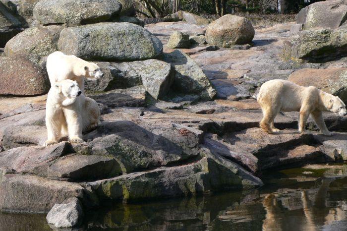 Knut, der Eisbär, der als …